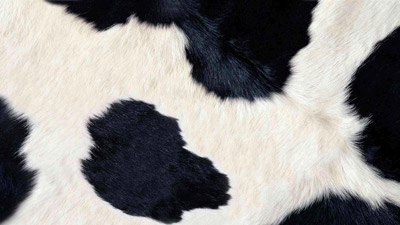 Informationen zur Coxiellose der Rinder (syn. Q-Fieber)