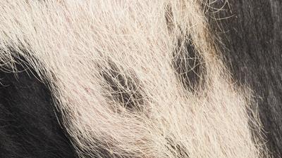 Informationen zum ersten Auftreten der Afrikanischen Schweinepest bei einem Wildschwein in der Tschechischen Republik