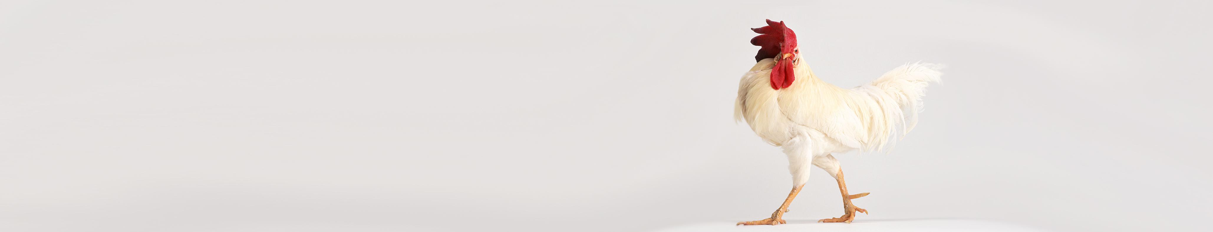 Ein stolzer Hahn läuft vor einem grauen Hintergrund entlang.